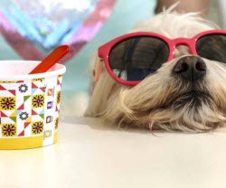 Dog with sunglasses and ice cream